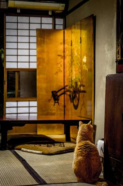 A cat stands guard in a teahouse in Kyoto, Japan