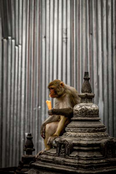 A monkey enjoys an ice cream at the Swayambhunath monkey template in Kathmandu, Nepal