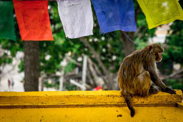 A monkey at the Swayambhunath monkey temple in Kathmandu, Nepal